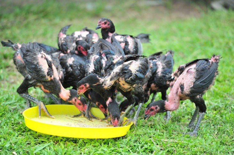 Raising chickens aged 3-7 months