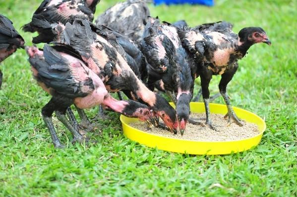 Chicken health check